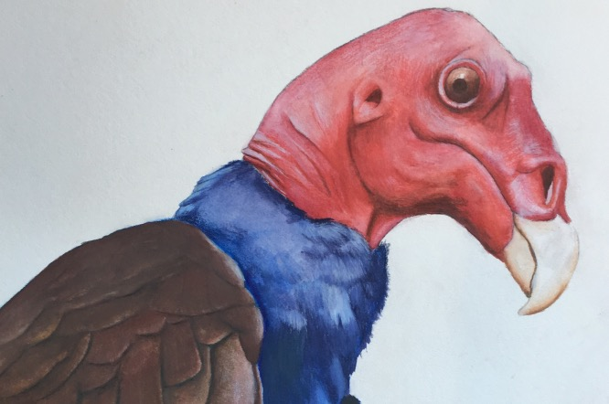 Turkey Vulture in Watercolor – Show at the Clymer Museum !