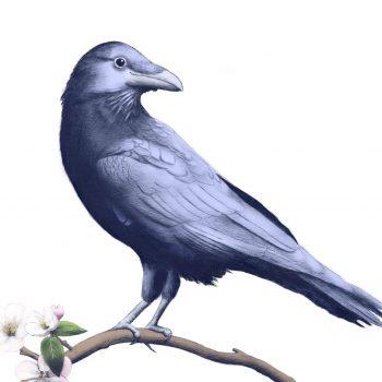 smiling-crow-2_original